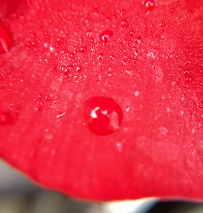 dew on a petal